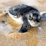 Koggala Sea Turtle Farm and Hatchery