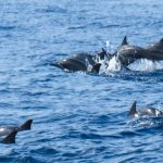 Whale and Dolphin Watching, Kalpitiya
