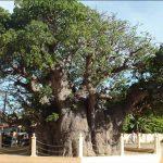 Baobab Tree Pallimunai